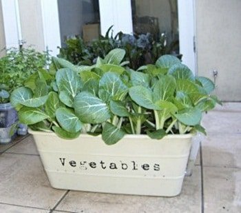 Green vegetables planted in a white rectangular pot